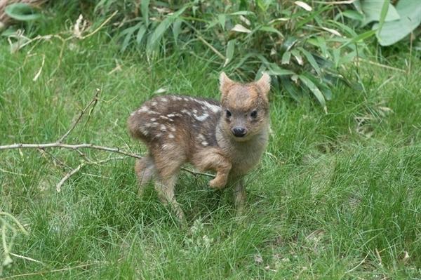 ciervo bebe 1