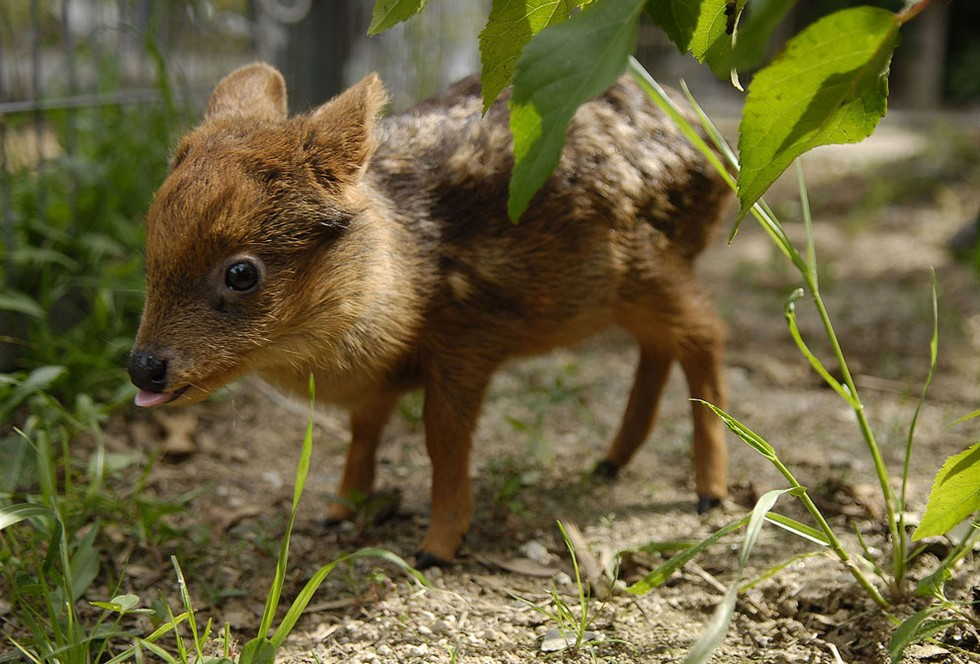 ciervo bebe 10