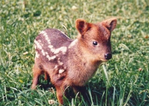 ciervo bebe 4