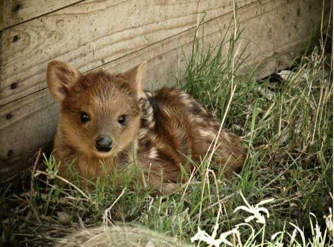 ciervo bebe 5