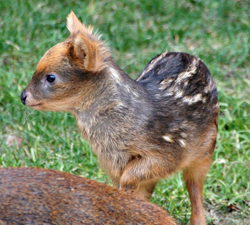 ciervo bebe 6
