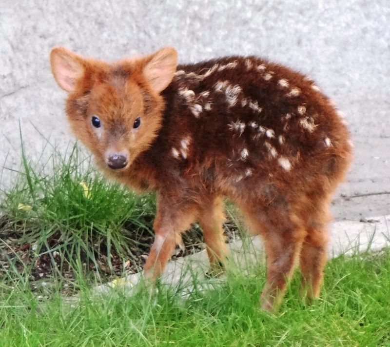 ciervo bebe 7