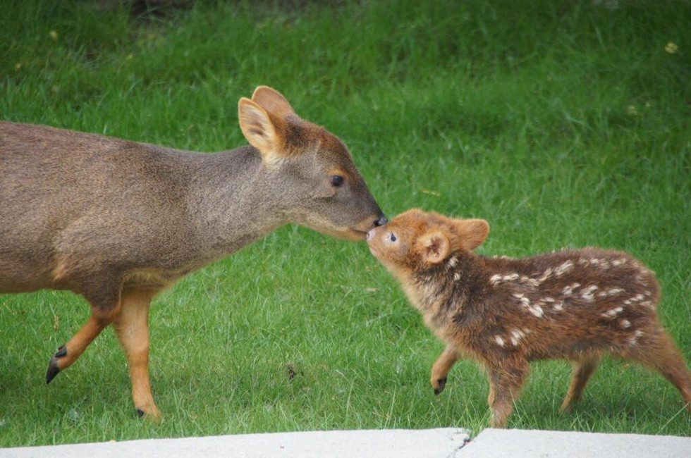 ciervo bebe 8