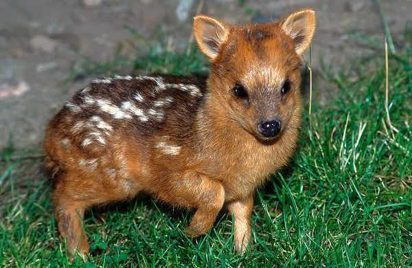 ciervo bebe 9