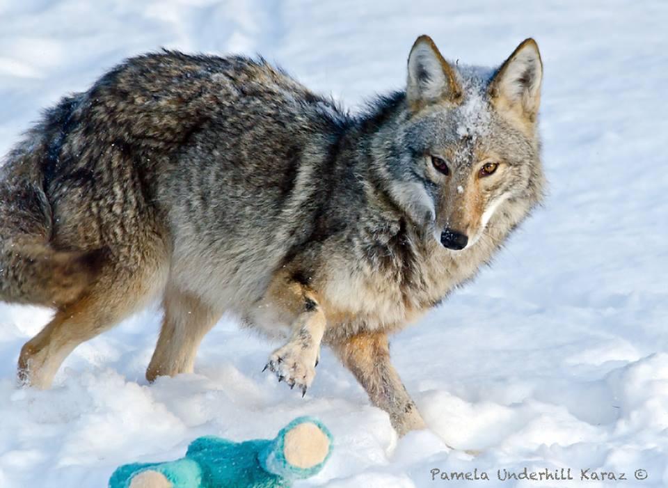 coyote jugueton 1