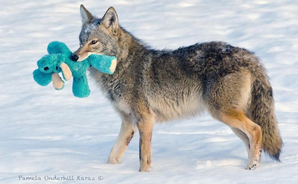 coyote jugueton 2