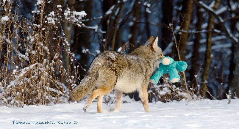 coyote jugueton 5