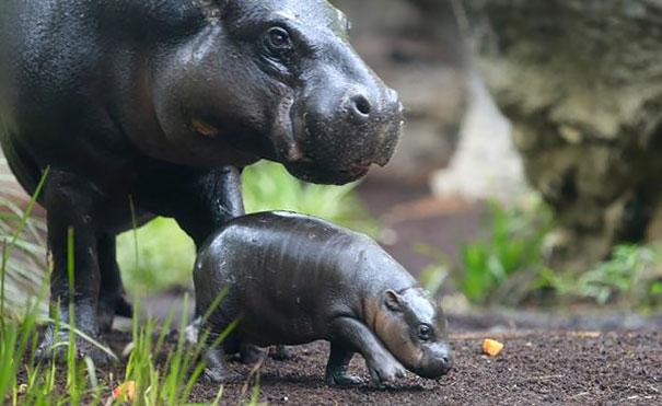 felix hipopotamo 10