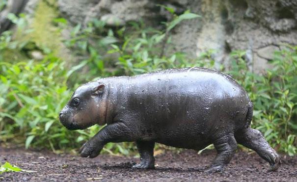 felix hipopotamo 11
