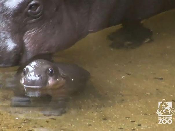 felix hipopotamo 2
