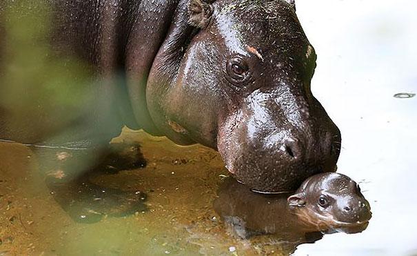 felix hipopotamo 9
