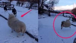 oveja se cree perro