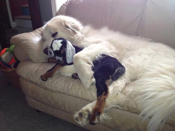 perros con cabras 1