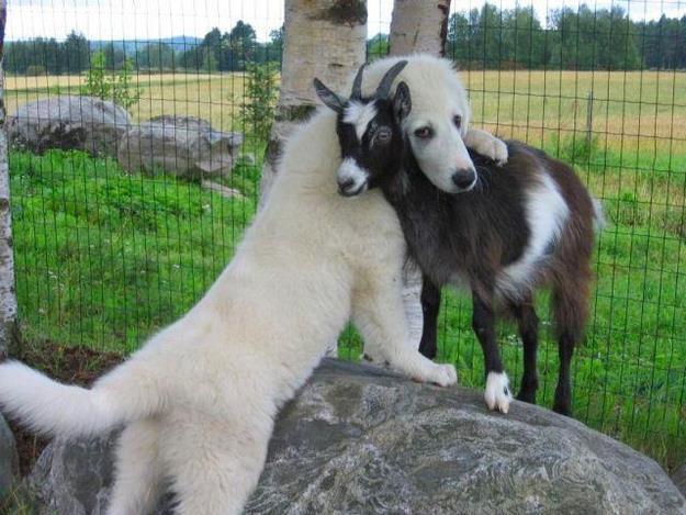 perros con cabras 2