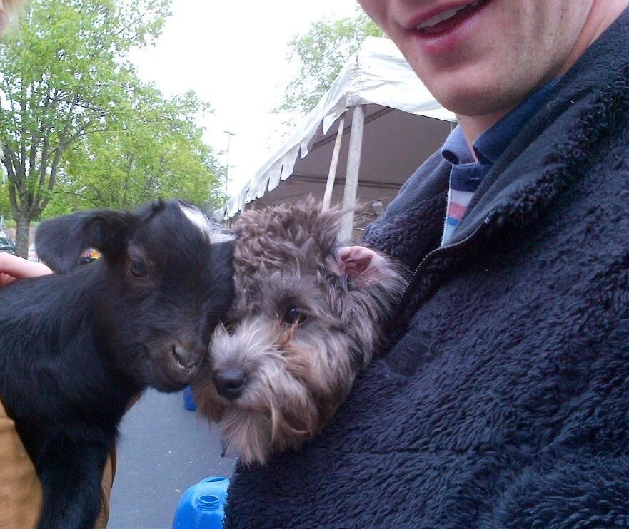 perros con cabras 4