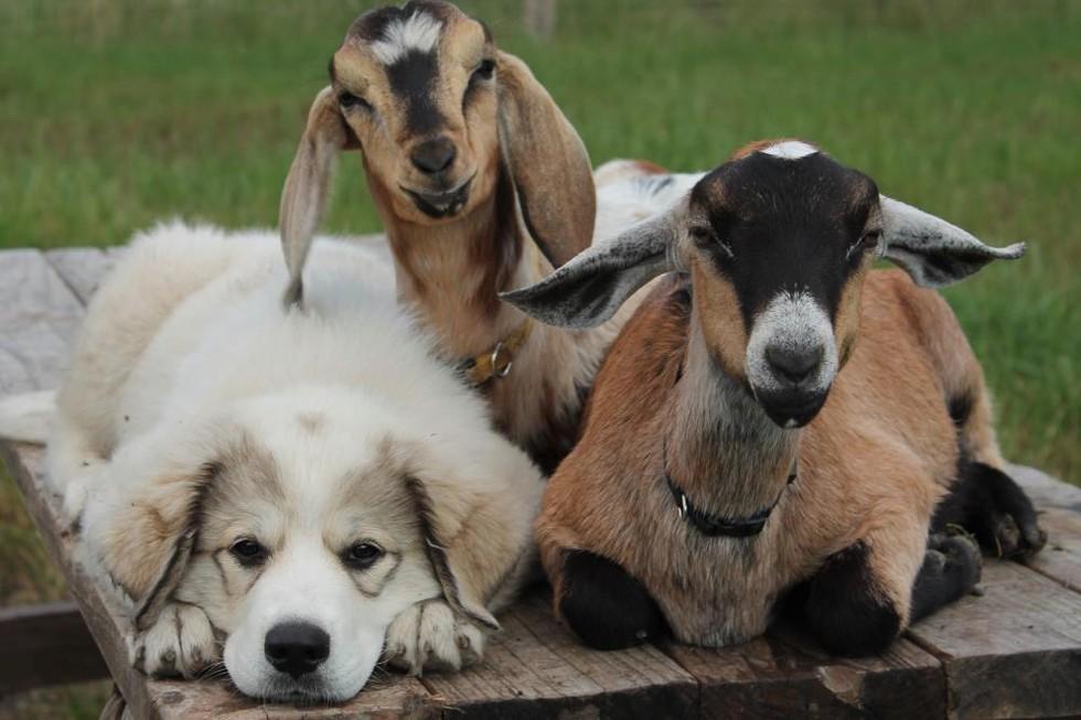 perros con cabras 6