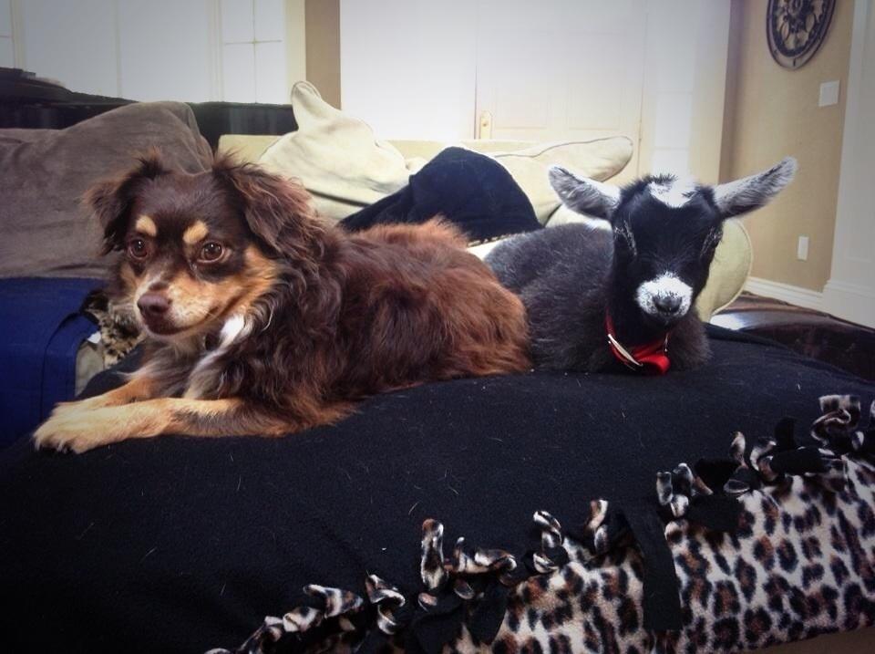 perros con cabras 9