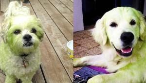 perros verdes id2 Cropped