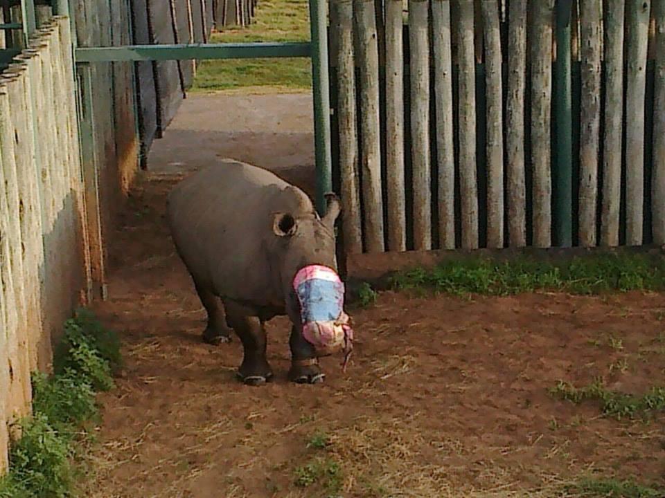 rinoceronte-recuperacion