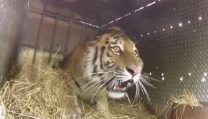 tigres liberados rusia Cropped