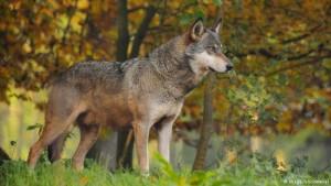 Lobo--