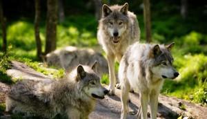 Lobos-
