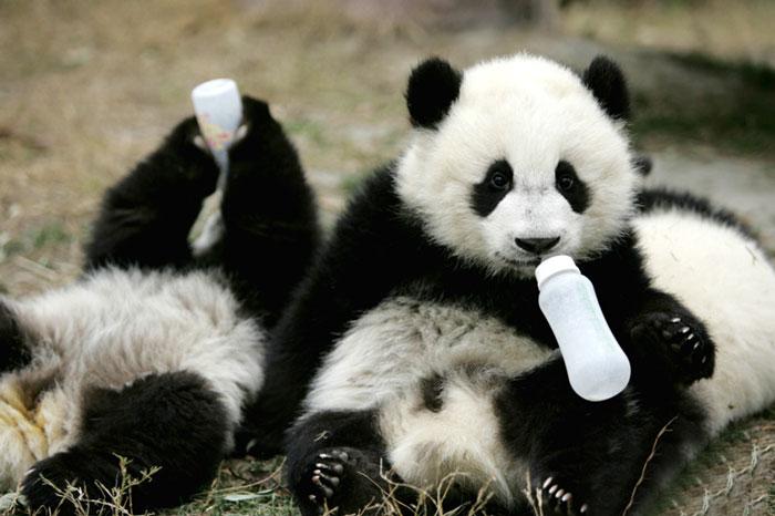 baby-panda