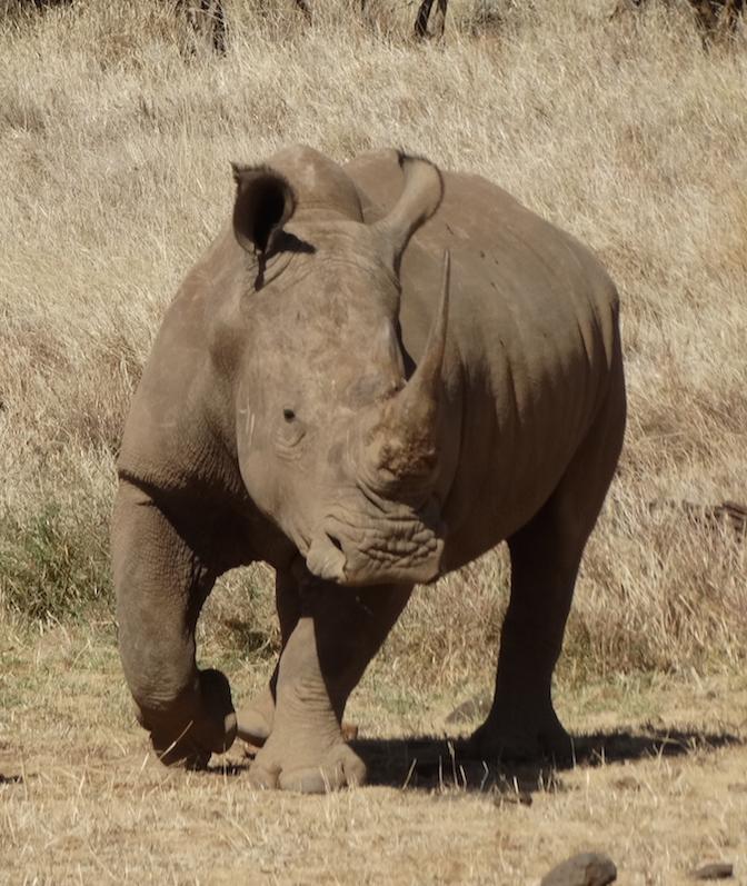 bebe rinoceronte 1