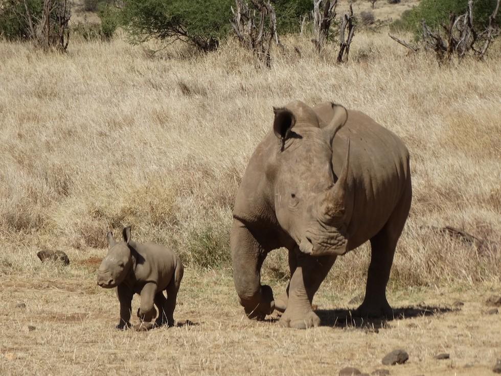 bebe rinoceronte 3