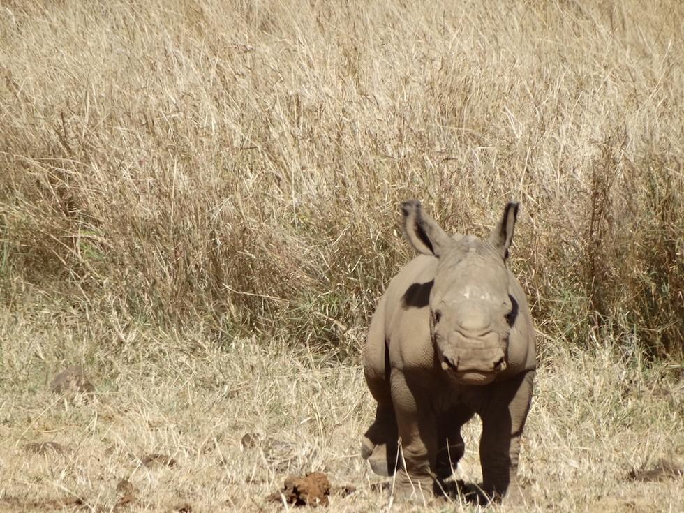 bebe rinoceronte 4