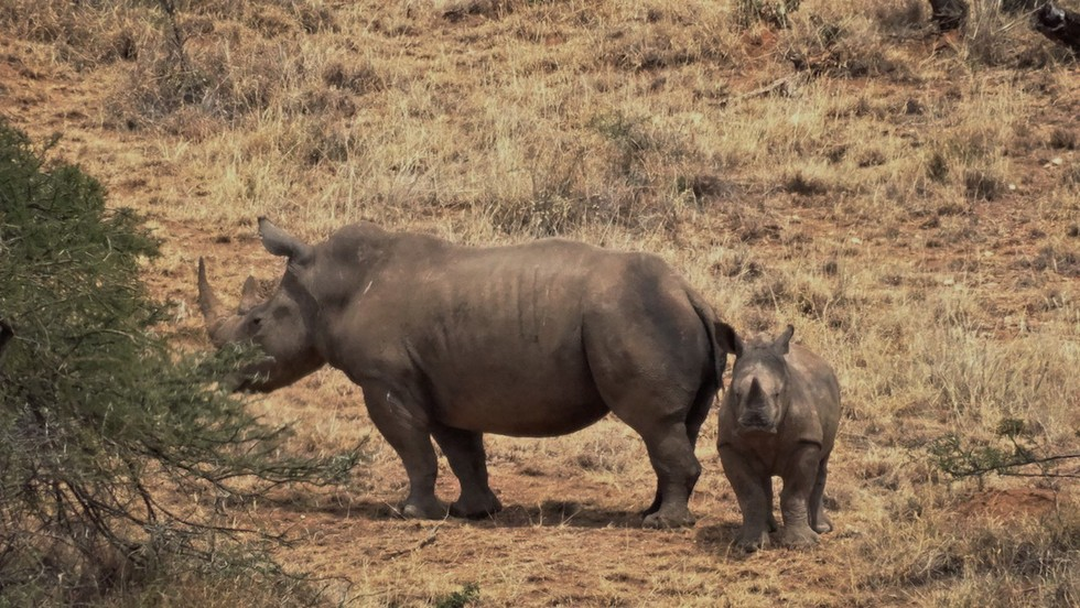 bebe rinoceronte 7