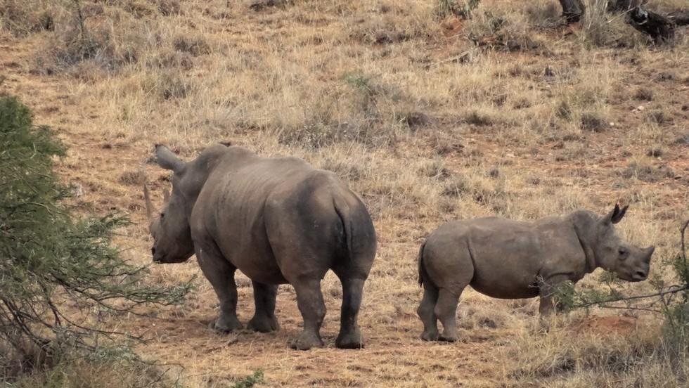 bebe rinoceronte 8
