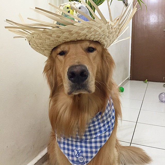bob-perro-golden