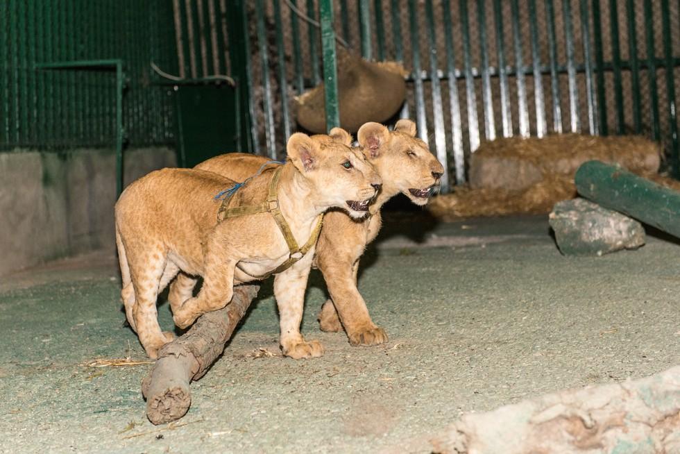 cachorros de leon rescatados 10