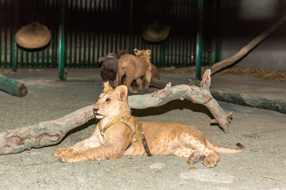 cachorros de leon rescatados 11