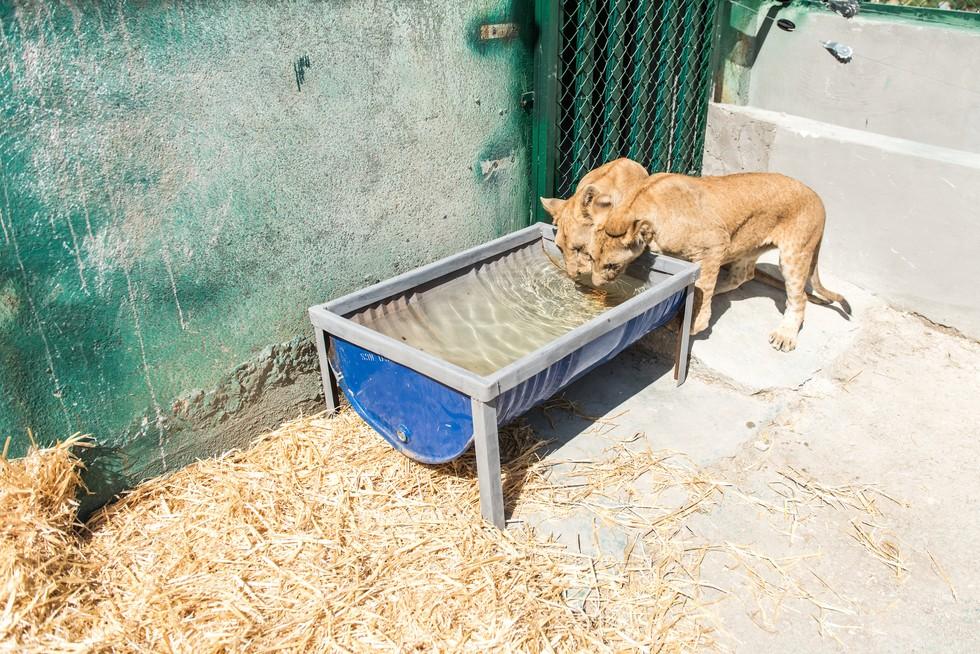 cachorros de leon rescatados 12