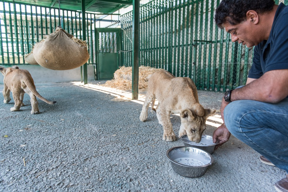 cachorros de leon rescatados 13