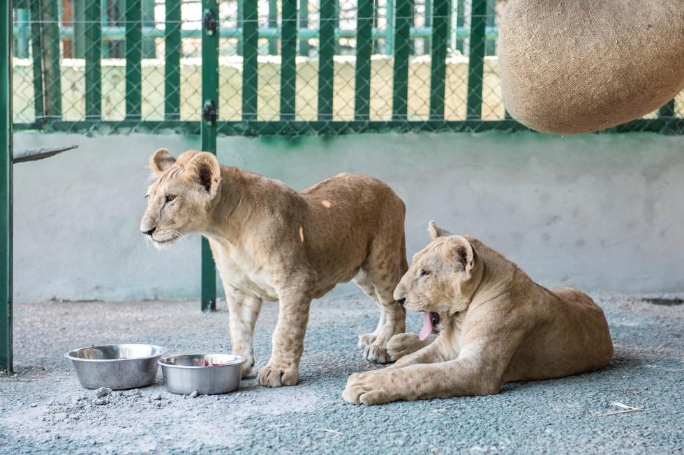 cachorros de leon rescatados 14