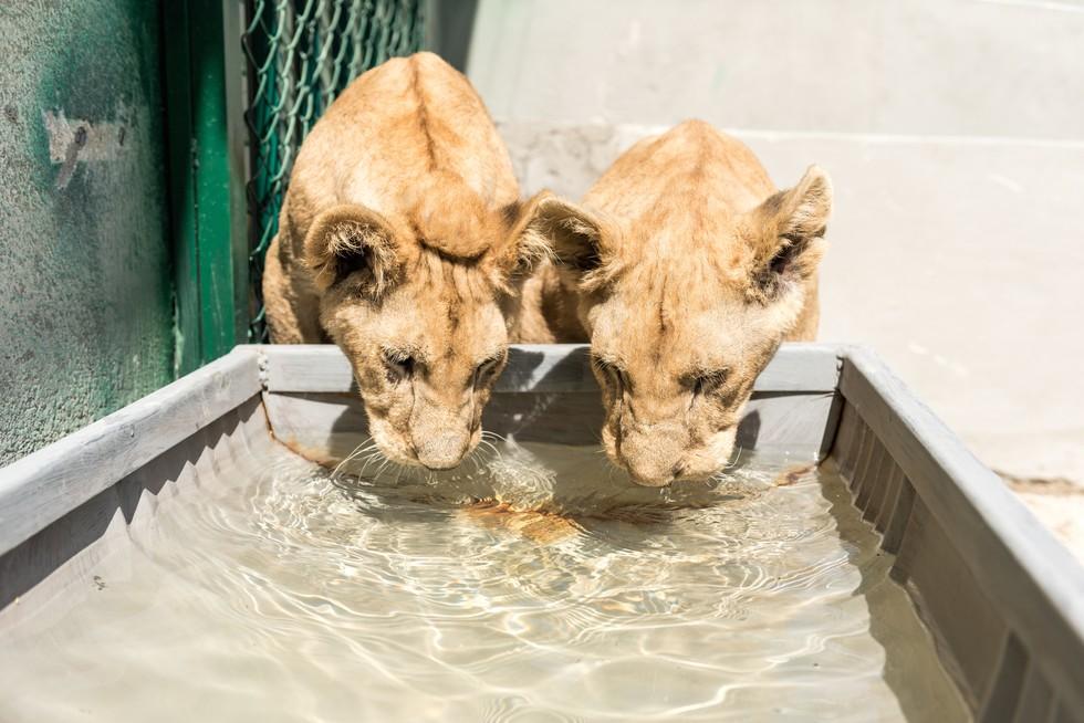 cachorros de leon rescatados 15