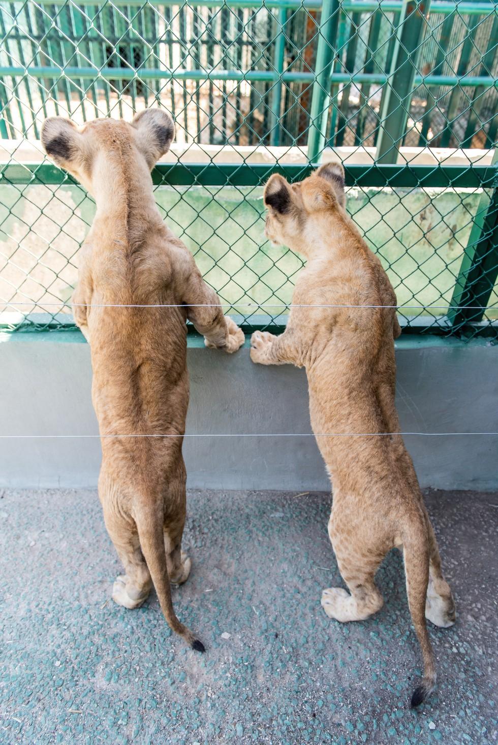 cachorros de leon rescatados 16
