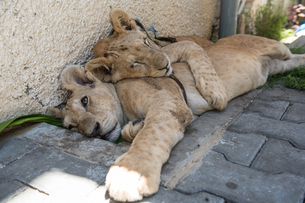 cachorros de leon rescatados 2
