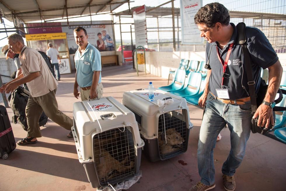 cachorros de leon rescatados 5