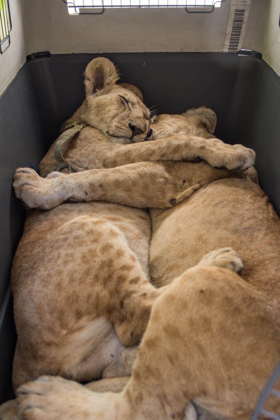cachorros de leon rescatados 6