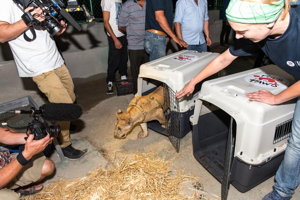 cachorros de leon rescatados 7