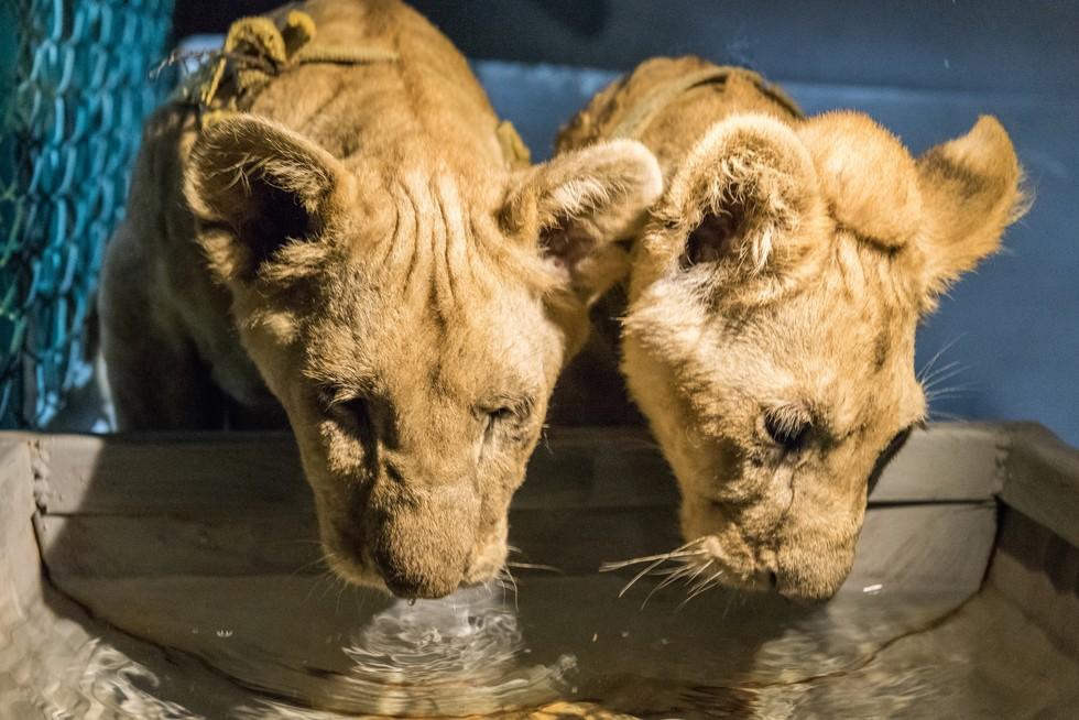 cachorros de leon rescatados 8