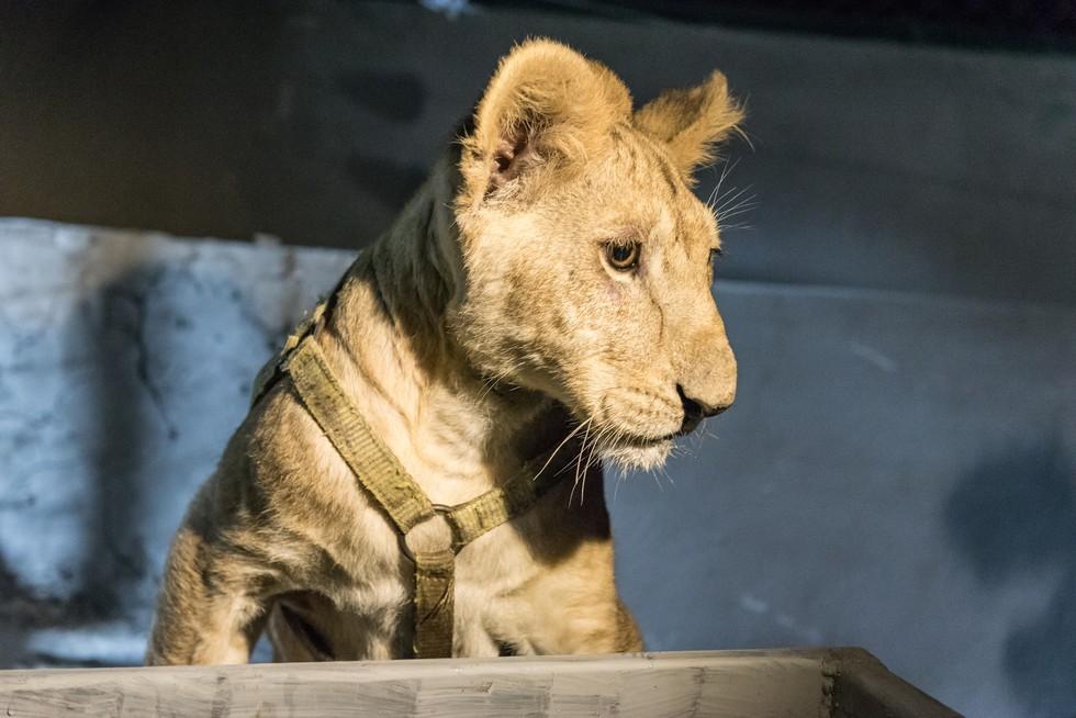 cachorros de leon rescatados 9