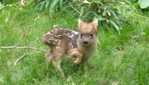 ciervo-pequeno