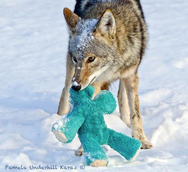 coyote-juega-peluche