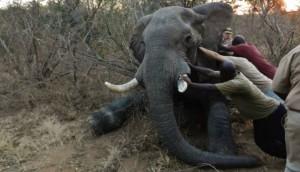 elefante-rescatado