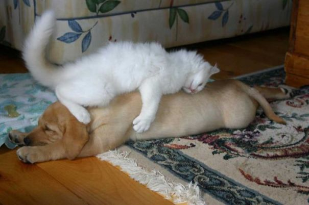 gatos dormidos en perros 11
